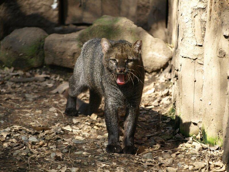 Онза, ацтекская кошка