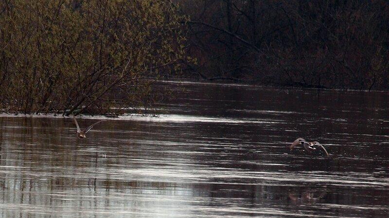Две утки над водой P4271171