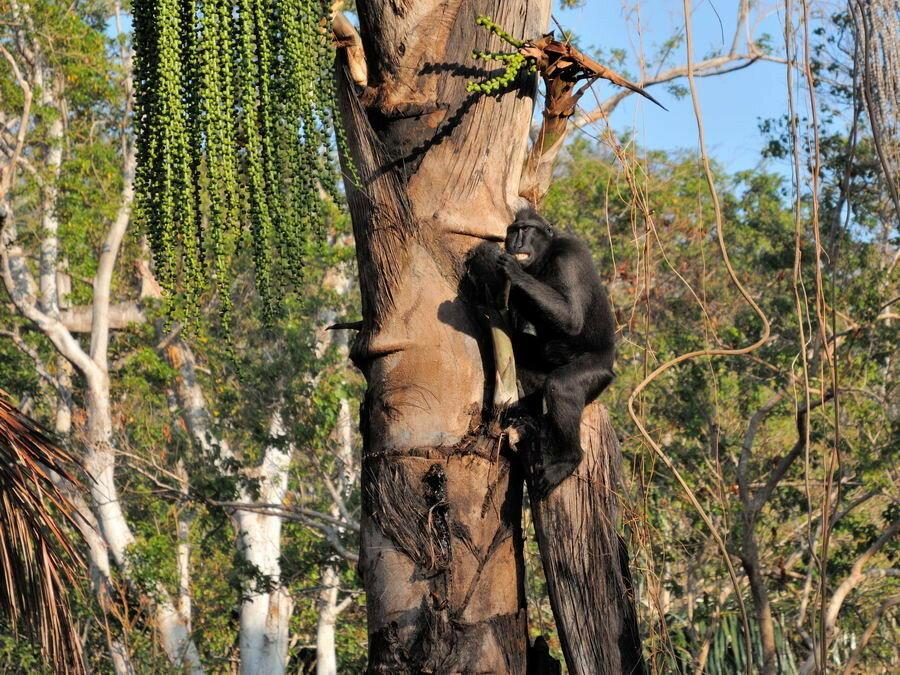 Хохлатый павиан на дереве