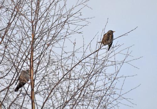 Дрозд-рябинник (Turdus pilaris) Автор фото: Владимир Брюхов