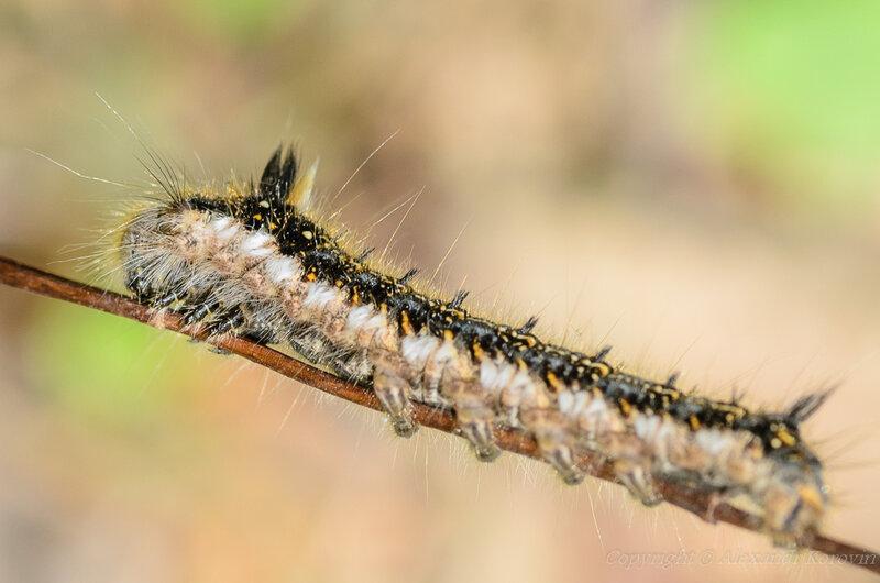 Гусеница коконопряда