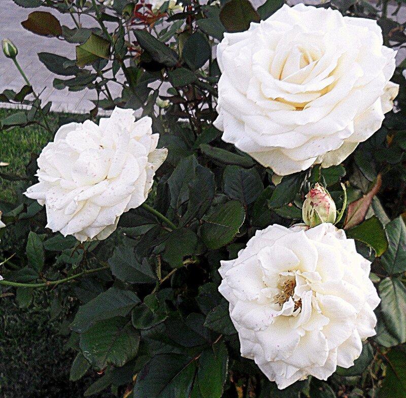 Сентябрь 2011, растения, цветы, розы