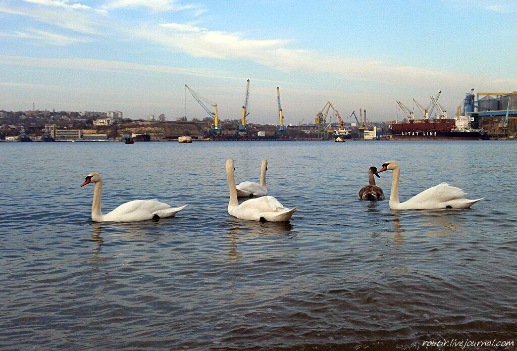 Лебеди в Ушаковке