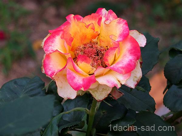 Приятно пахнущие сорта роз