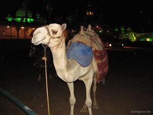 Верблюд в Шарм-Эль-Шейхе