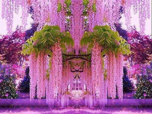 Жакаранда королевское дерево