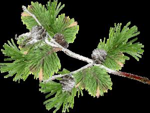 еловые ветки с шишками