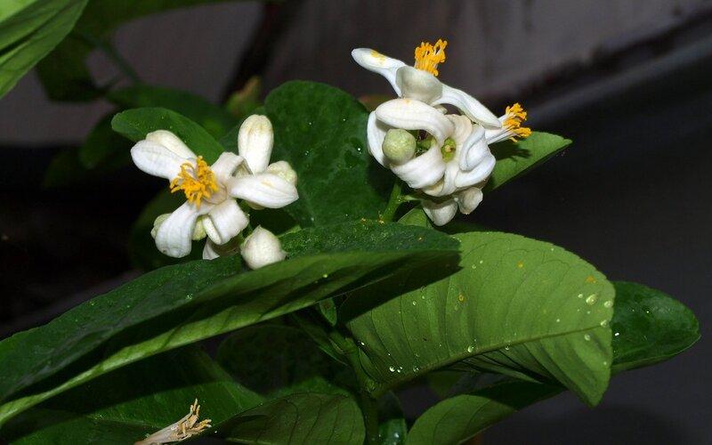 цветет мандарин