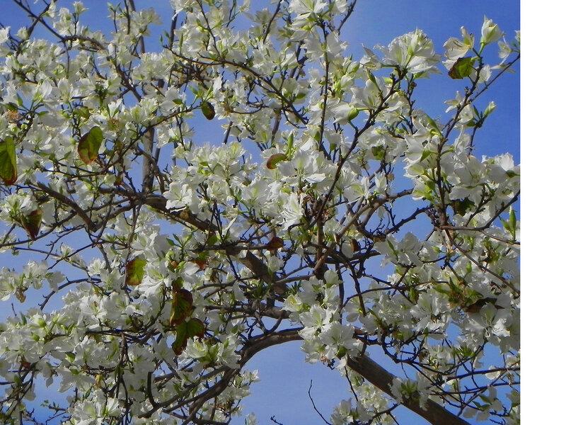 Баухиния белая(орхидейное дерево)