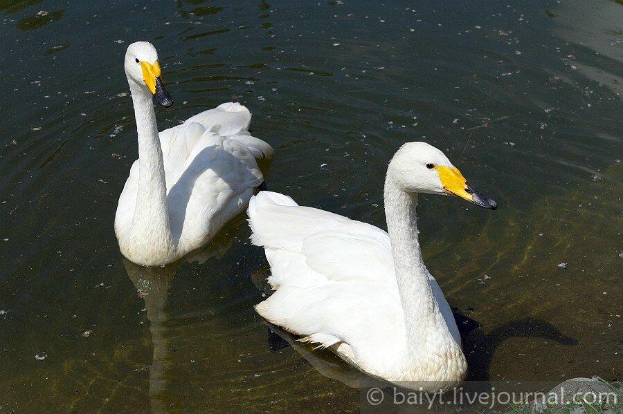 Лебеди в пруду на центральной площади Ткибули