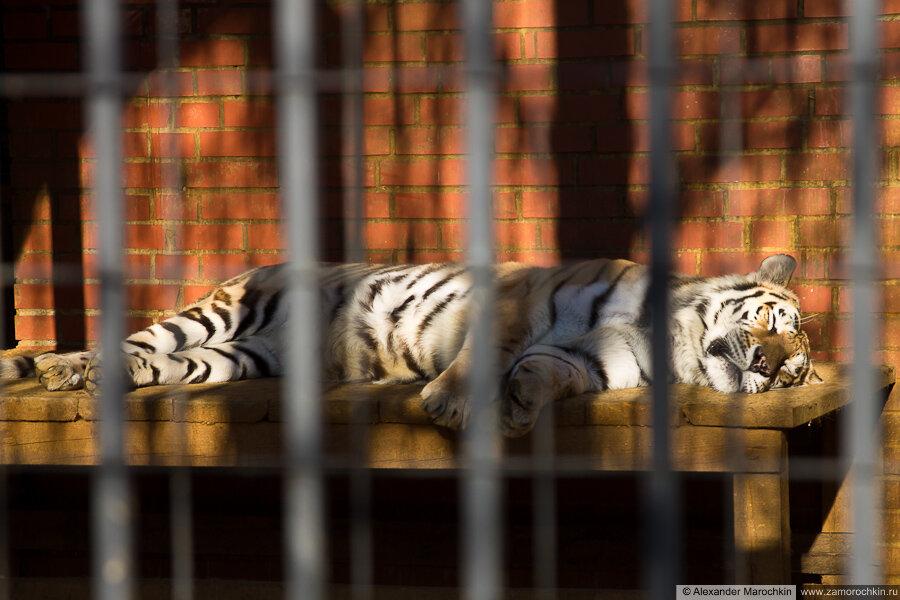 Тигр в саранском зоопарке