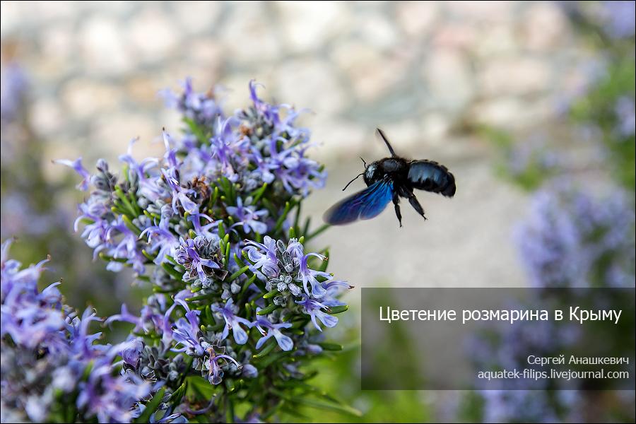 Цветение розмарина в Крыму