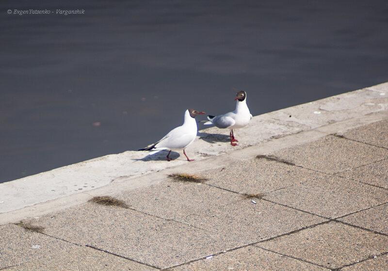 Чайки ведут светскую беседу