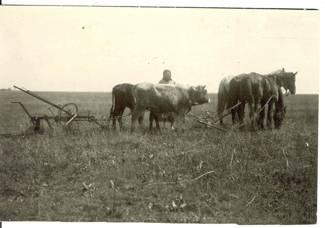 Женщина с волами и лошадьми