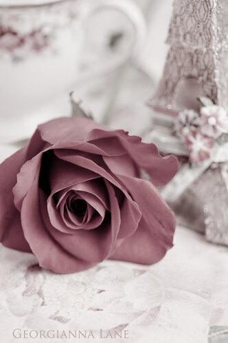 Rosa 'Freedom'