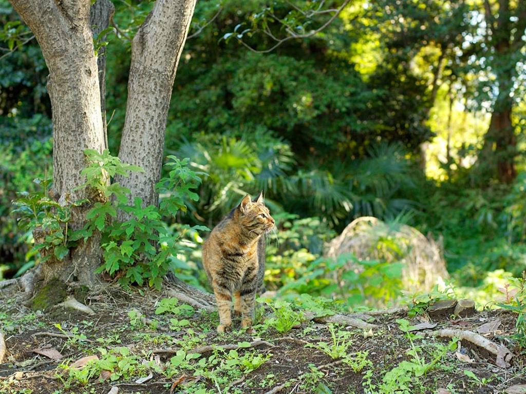 Дикие кошки: Европейская дикая лесная кошка (Felis silvestris) -  — LiveJournal