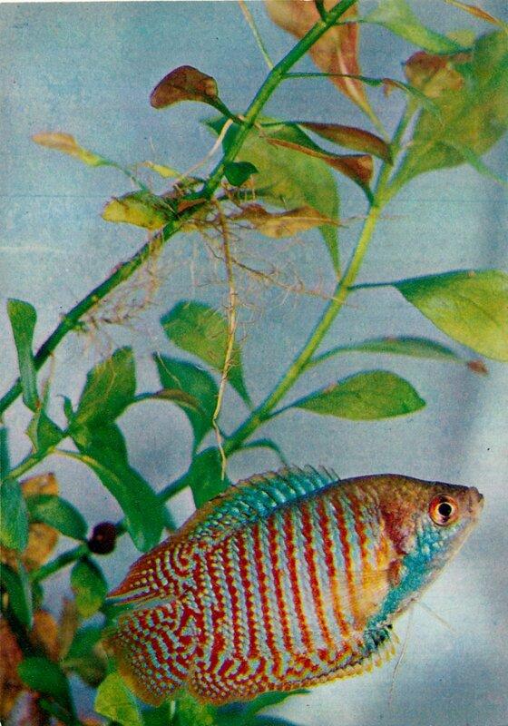 Лялиус, радужная рыбка Colisa lalia (Hamilton-Buchanan)