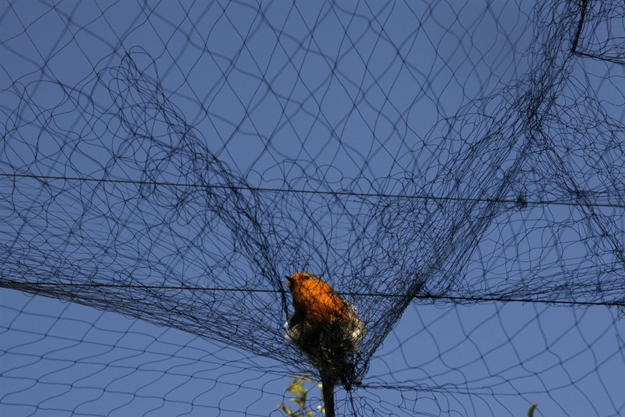 ловля фазанов на путанку