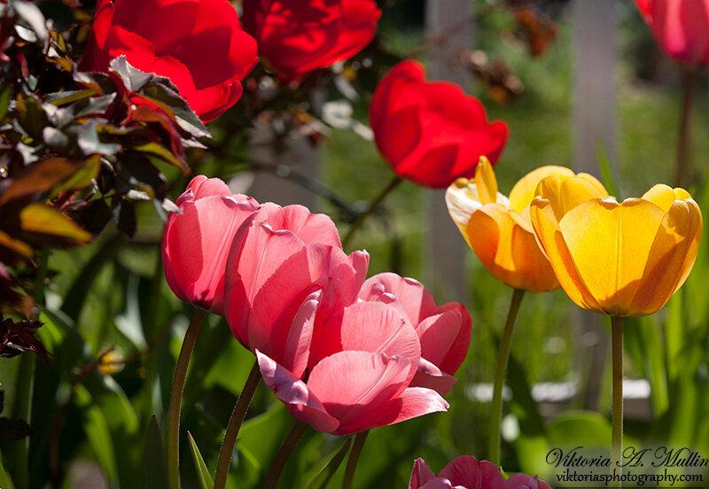 April TulipsМои первые тюльпаны 2013 расскрылись