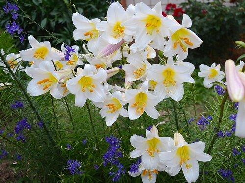 Лилия трубчатая регале