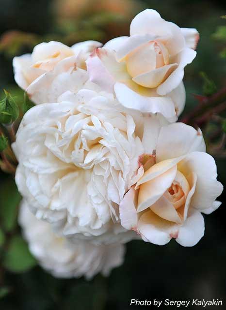 Rosa Crocus Rose (5).JPG