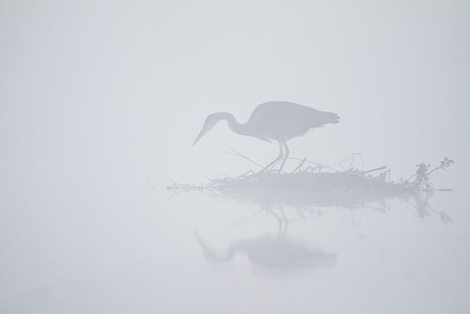 Серая цапля ловит рыбу в тумане, Великобритания.