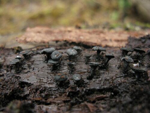 Этот относительно редкий гриб в некоторых местах плодится в таком количестве, что возникают сомнения в его редкости Автор фото: Станислав Кривошеев
