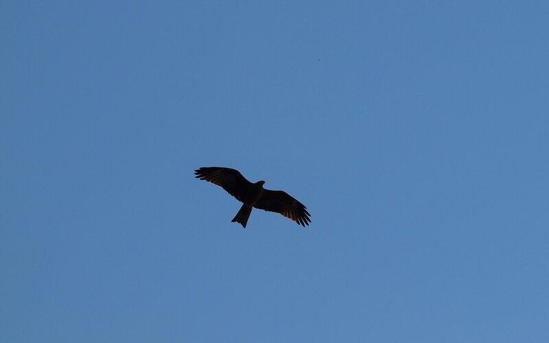 Чёрный коршун (Milvus migrans) P5172934.jpg