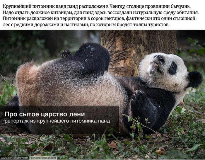 Ленивые Панды из питомника