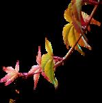 calguisvigneviergequinnquefolia30092012.png