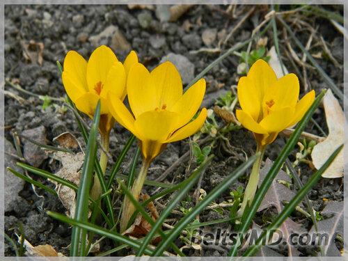 В Бельцы приходит весна —  появляются первые цветы