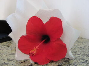 Цветок каркадэ