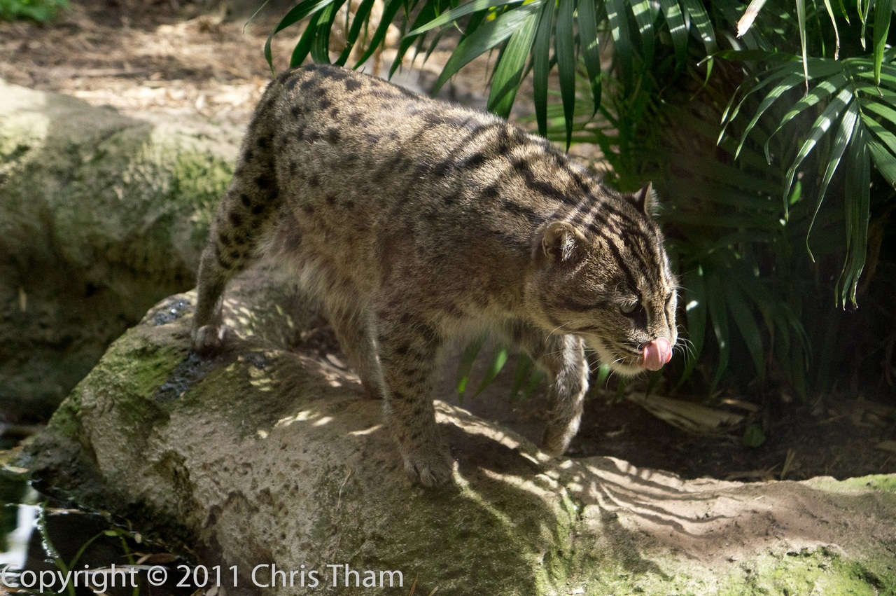 Дикие кошки азиатский рыбный кот felis