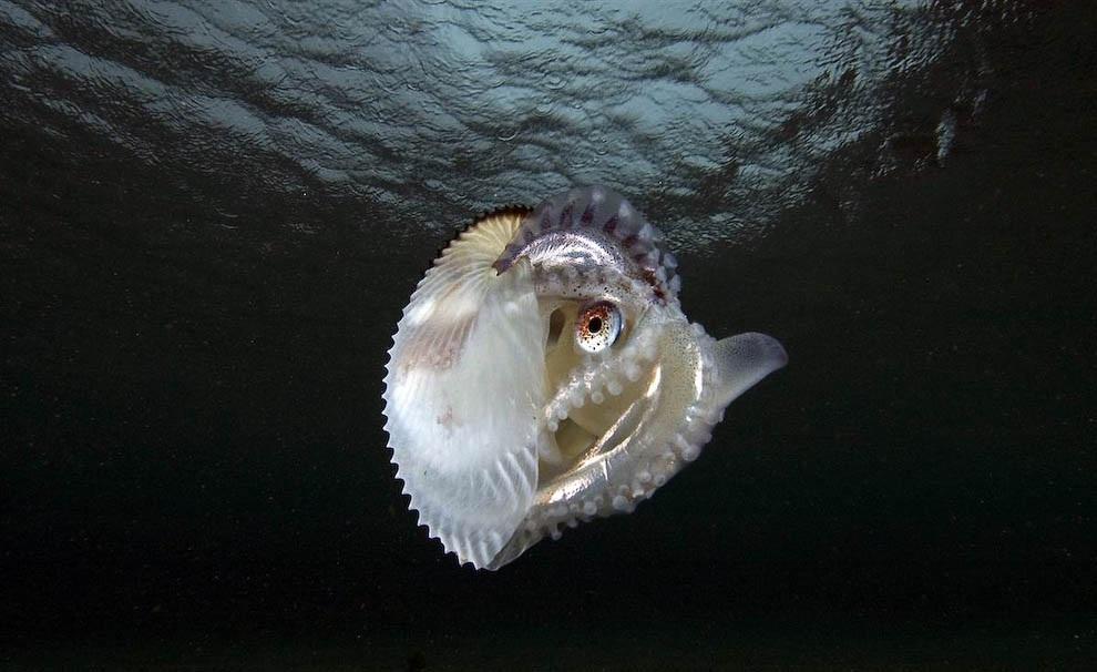 Живут необыкновенные моллюски - пелагические осьминоги родов T…