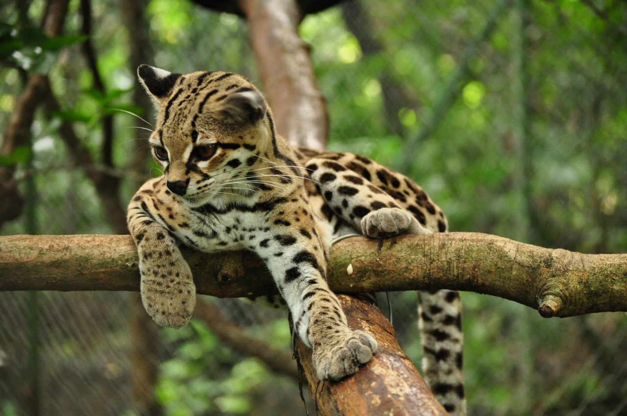 виды диких кошек с фото и названиями