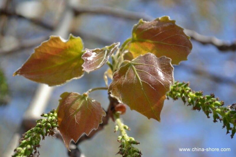 среднеевропейской вянущие листья тополя фото здесь всего один