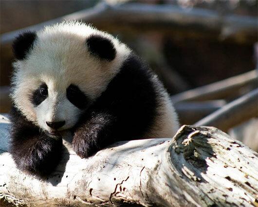 Смешные картинки про панду