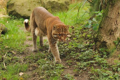 Золотистая кошка