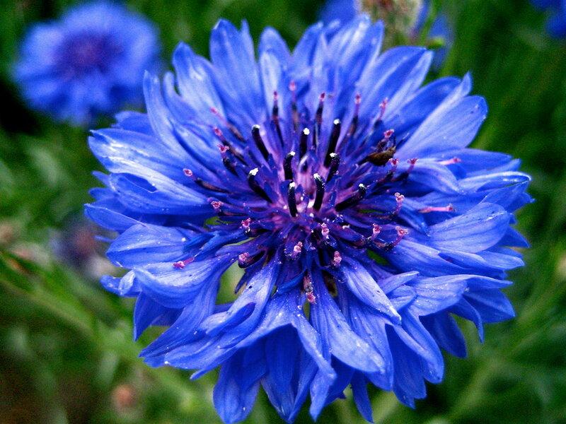 синие цветы фото: