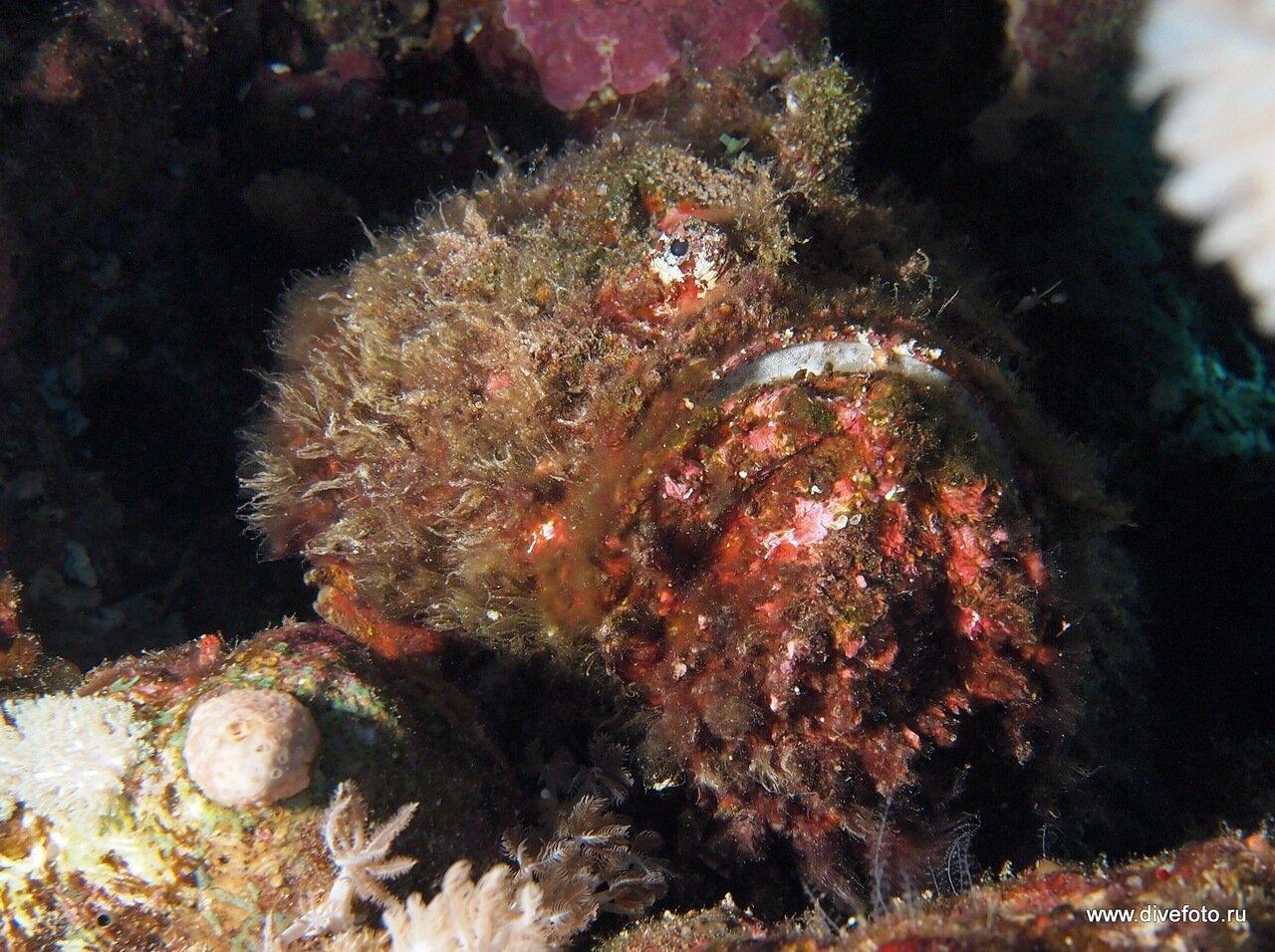 рыба камень, stone fish, фото страшных рыб