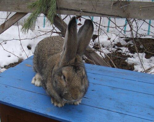 Бельгийский Великан(Обр,Ризен,Фландр) Кролики гиганты.часть 2 - Страница 2 0_9ad7d_7b4570cd_L