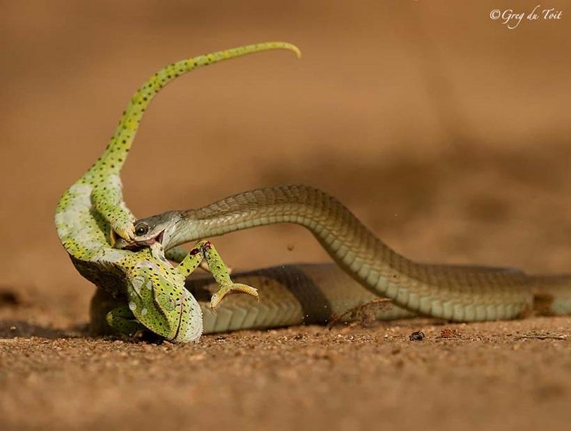 Пугающие фотографии змей 0 134ac3 7ccbc9e9 orig