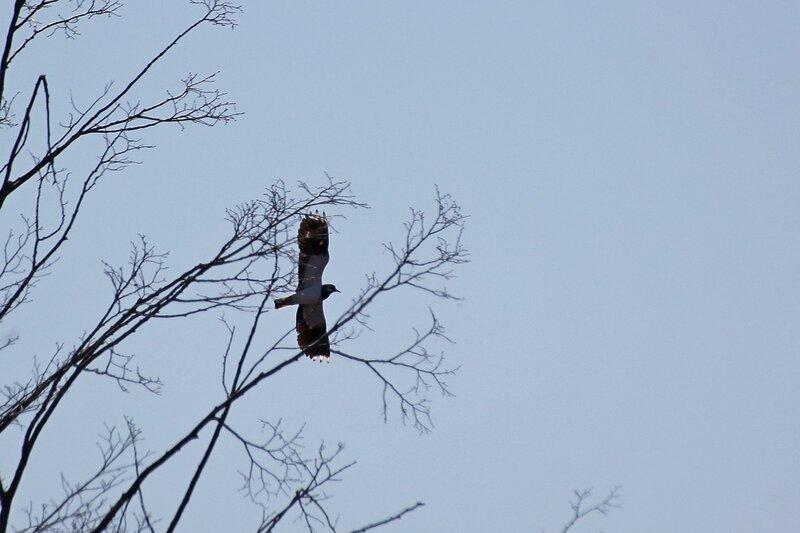 Чибис (Vanellus vanellus) в полёте за ветками деревьев
