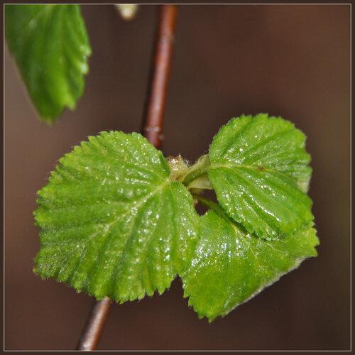 Береза пушистая (Betula pubescens) Автор: Владимир Брюхов