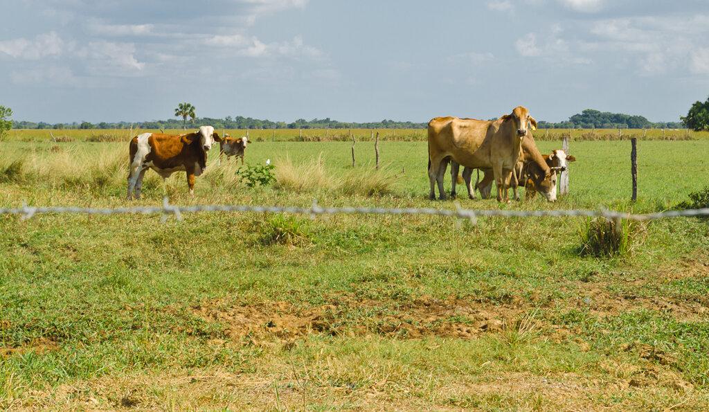 Отдых в Мексике. Отзывы. Мексиканские коровки. По дороге в Паленке