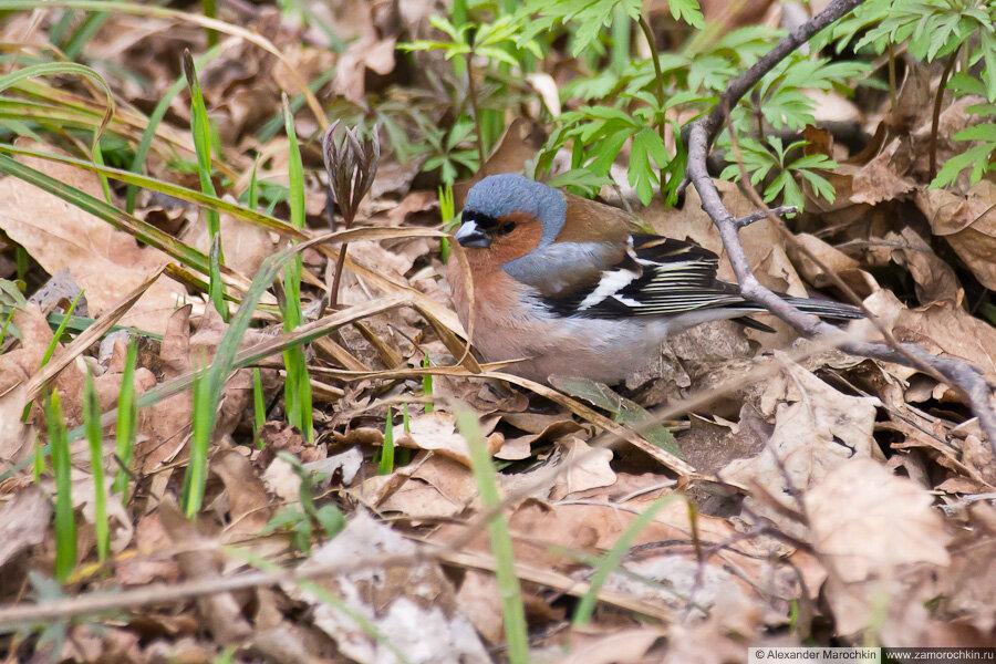 Самка зяблика | Male chaffinch | Fringílla coélebs masculus