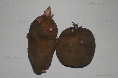 Вот так прорастают ростки у клубней картофеля.