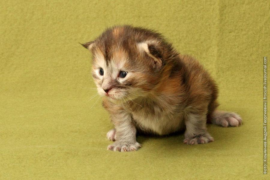 маленький двухнедельный котенок мейн кун