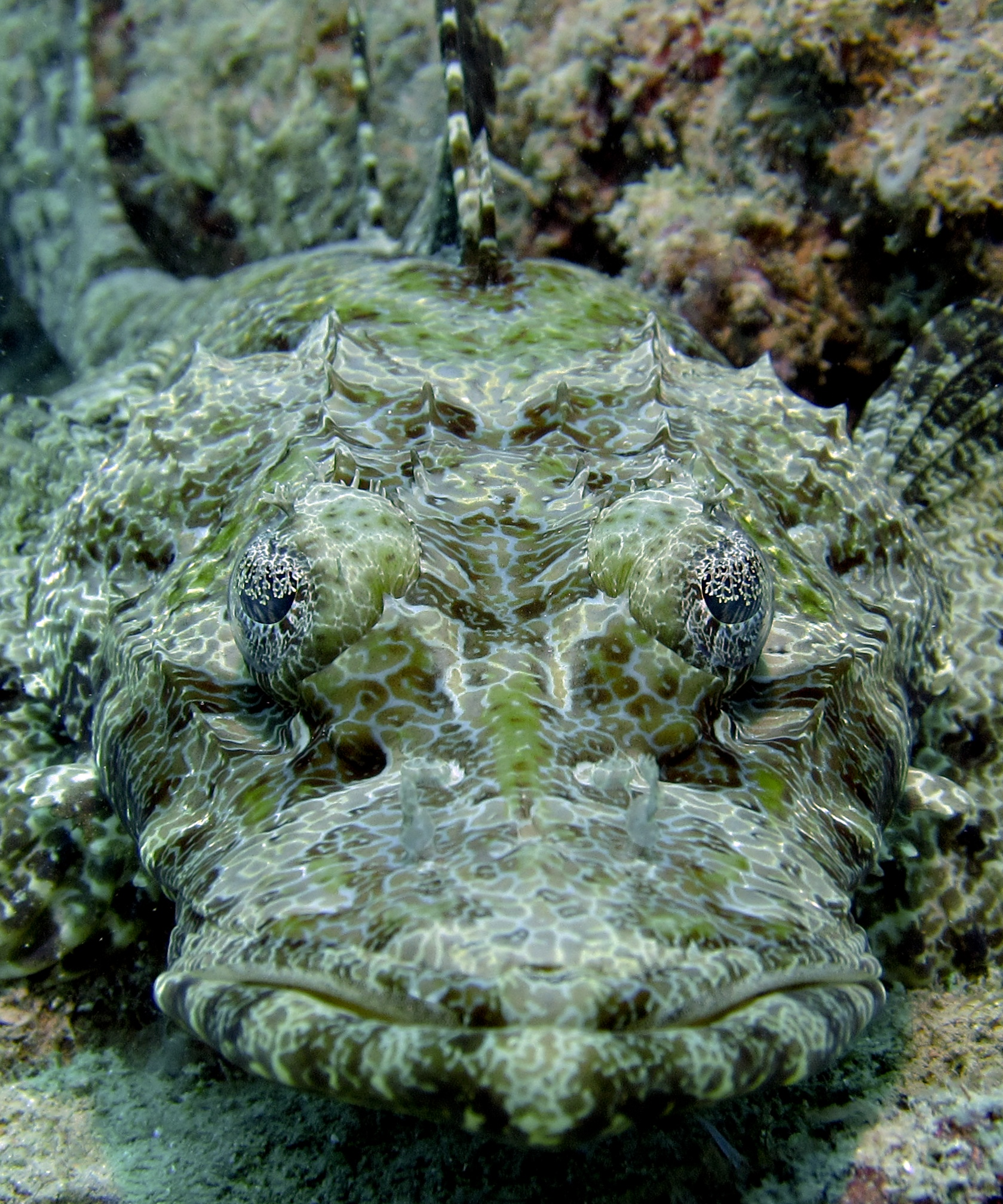 Crocodile Fish, Cymbacephalus beauforti
