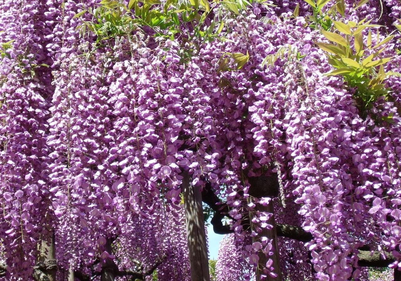 Фото свисающих садовых цветов
